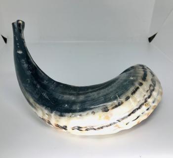 Ram's Horn Shofar Medium
