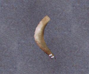 Israeli Shofar - Medium